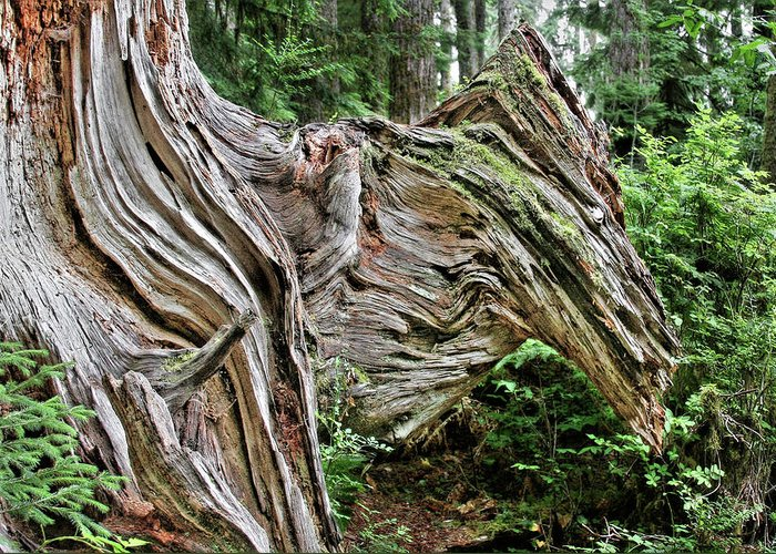Trees Greeting Card featuring the photograph Roots - Welcome To Olympic National Park Wa Usa by Christine Till