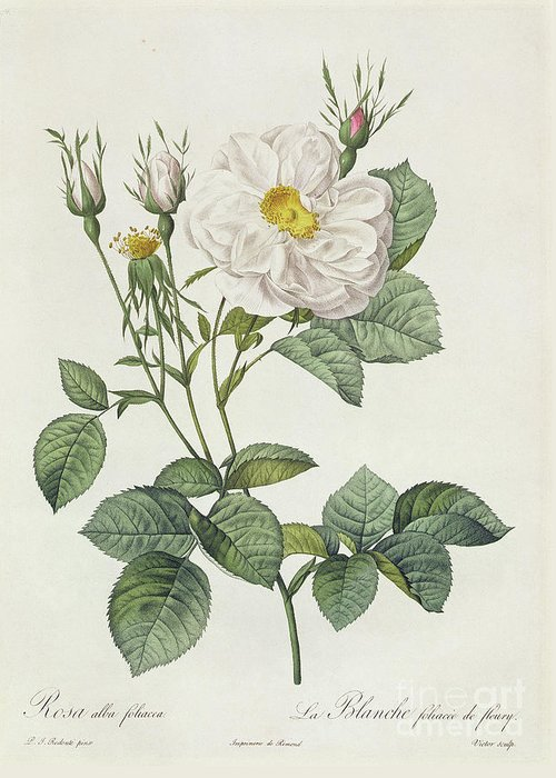Rosa Greeting Card featuring the drawing Rosa Alba Foliacea by Pierre Joseph Redoute
