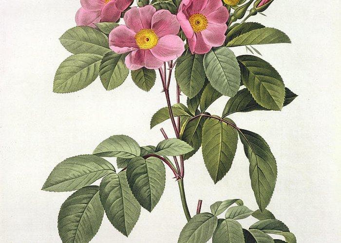 Rosa Greeting Card featuring the drawing Rosa Carolina Corymbosa by Pierre Joseph Redoute