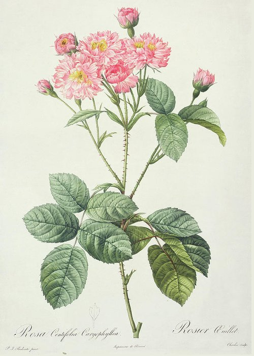 Rosa Greeting Card featuring the drawing Rosa Centifolia Caryophyllea by Pierre Joseph Redoute