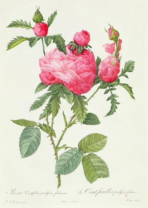 Rosa Greeting Card featuring the drawing Rosa Centifolia Prolifera Foliacea by Pierre Joseph Redoute