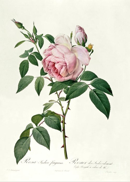Rosa Greeting Card featuring the drawing Rosa Chinensis And Rosa Gigantea by Joseph Pierre Redoute
