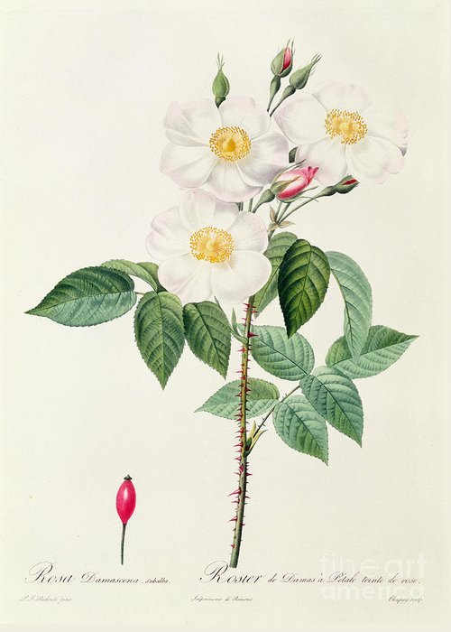 Rosa Greeting Card featuring the drawing Rosa Damascena Subalba by Pierre Joseph Redoute