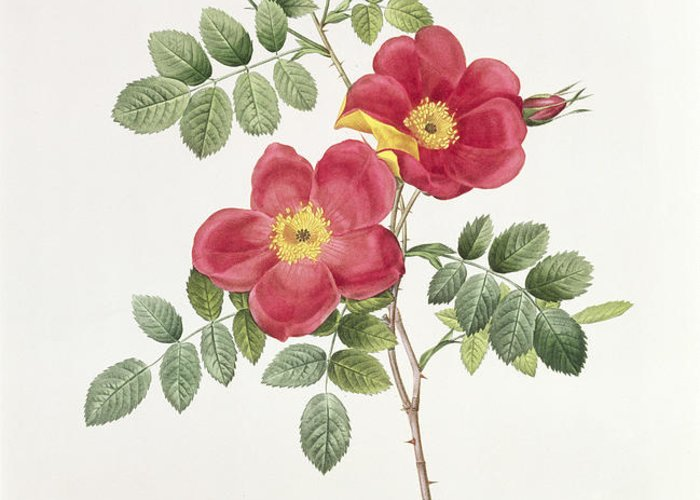 Rosa Greeting Card featuring the drawing Rosa Eglantera Punicea by Pierre Joseph Redoute