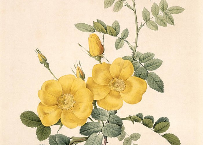 Rosa Greeting Card featuring the drawing Rosa Eglanteria by Pierre Joseph Redoute