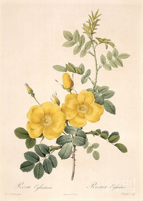 Rosa Eglanteria By Redoute Greeting Cards