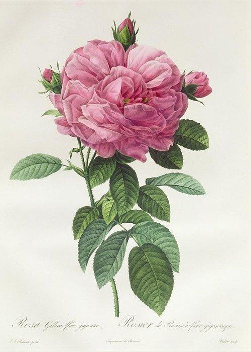 Rosa Greeting Card featuring the drawing Rosa Gallica Flore Giganteo by Pierre Joseph Redoute