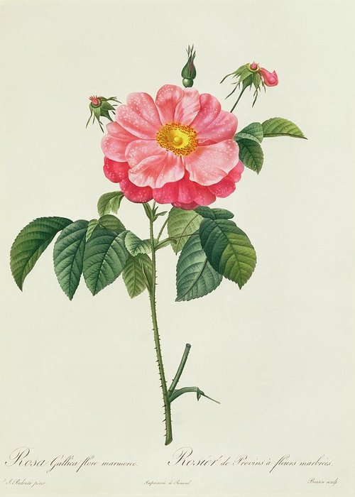 Rosa Greeting Card featuring the drawing Rosa Gallica Flore Marmoreo by Pierre Joseph Redoute