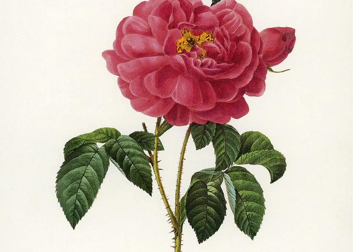 1833 Greeting Card featuring the photograph Rosa Gallica by Granger