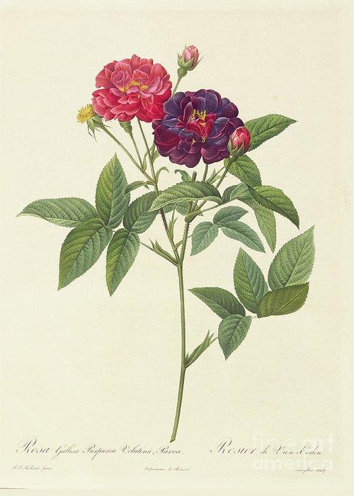 Rosa Greeting Card featuring the drawing Rosa Gallica Purpurea Velutina by Pierre Joseph Redoute