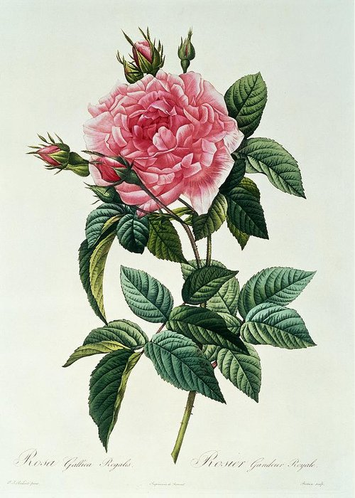 Rosa Greeting Card featuring the drawing Rosa Gallica Regalis by Pierre Joseph Redoute