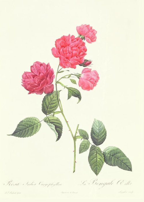 Rosa Greeting Card featuring the drawing Rosa Indica Caryophyllea by Pierre Joseph Redoute