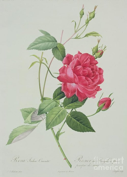 Red Greeting Card featuring the drawing Rosa Indica Cruenta by Pierre Joseph Redoute