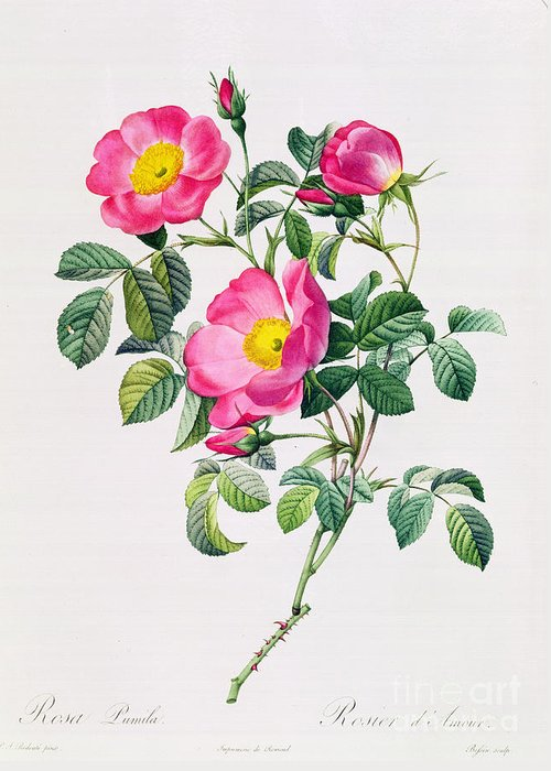 Rosa Greeting Card featuring the drawing Rosa Lumila by Pierre Joseph Redoute