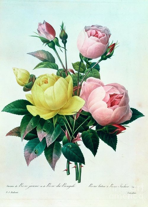 Rosa Greeting Card featuring the painting Rosa Lutea And Rosa Indica by Pierre Joseph Redoute