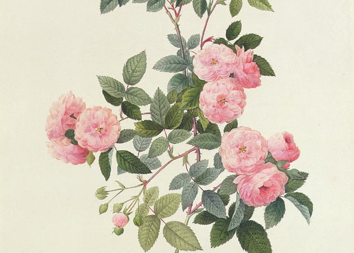 Rosa Greeting Card featuring the drawing Rosa Multiflora Carnea by Pierre Joseph Redoute