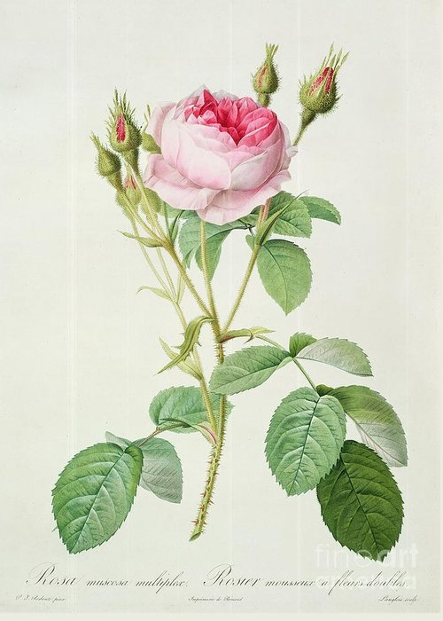 Rosa Greeting Card featuring the drawing Rosa Muscosa Multiplex by Pierre Joseph Redoute
