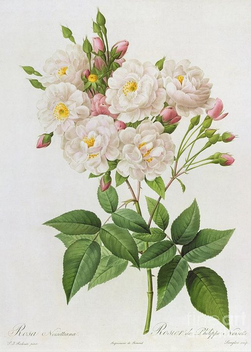 Rosa Greeting Card featuring the painting Rosa Noisettiana by Pierre Joseph Redoute