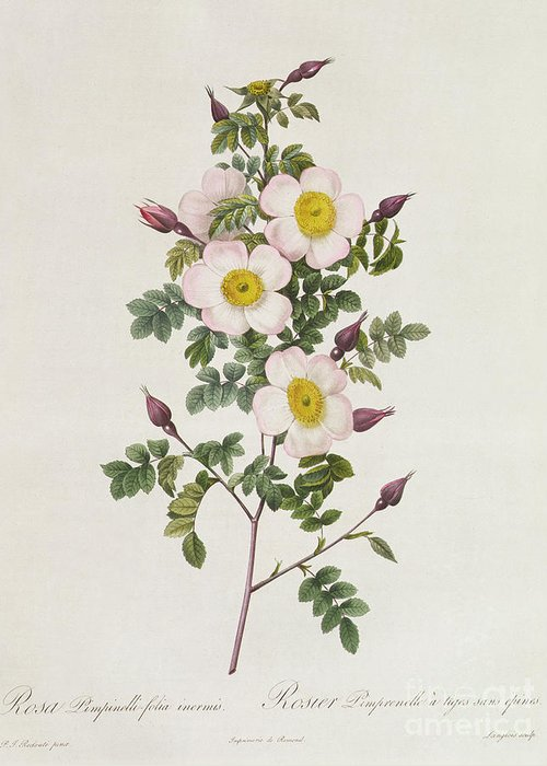 Rosa Greeting Card featuring the drawing Rosa Pimpinelli Folia Inermis by Pierre Joseph Redoute
