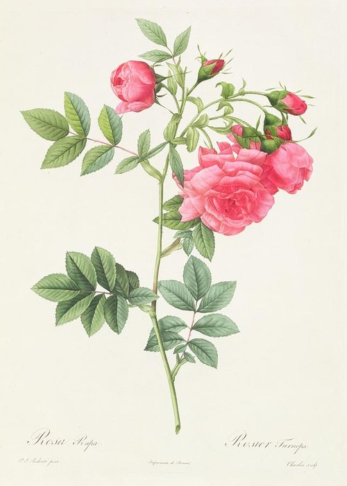 Rosa Greeting Card featuring the drawing Rosa Pimpinellifolia Flore Variegato by Pierre Joseph Redoute