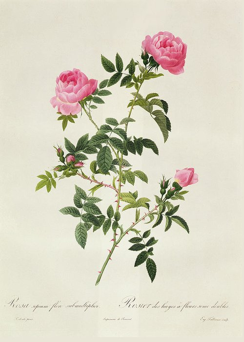 Rosa Greeting Card featuring the drawing Rosa Sepium Flore Submultiplici by Pierre Joseph Redoute