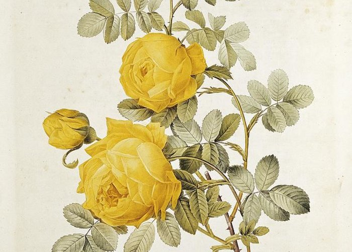 Rosa Greeting Card featuring the drawing Rosa Sulfurea by Pierre Redoute