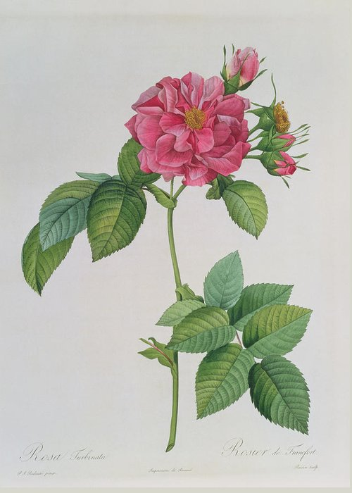 Rosa Greeting Card featuring the drawing Rosa Turbinata by Pierre Joseph Redoute