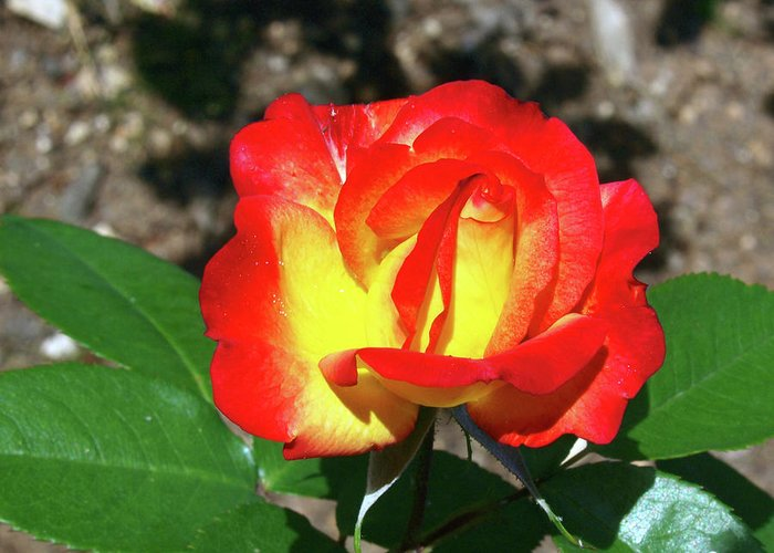 Rose Greeting Card featuring the photograph Rose 07 by Arik Baltinester