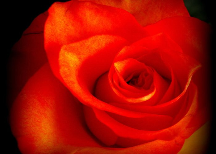 Rose Greeting Card featuring the photograph Rose 2 by Dianne Pettingell