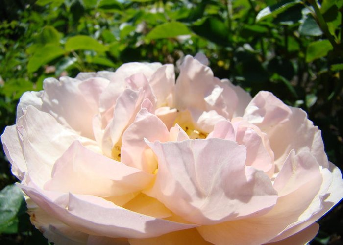 Rose Greeting Card featuring the photograph Rose Art Prints Canvas Sunlit Pink Rose Garden Baslee Troutman by Baslee Troutman