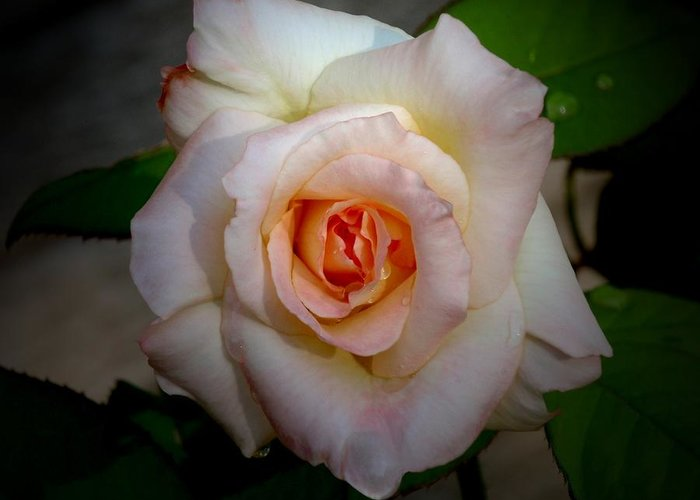 Rose Greeting Card featuring the photograph Rose Blushing After Rain by B Nelson