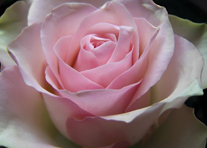 Rose Greeting Card featuring the photograph Rose by Daniel Csoka