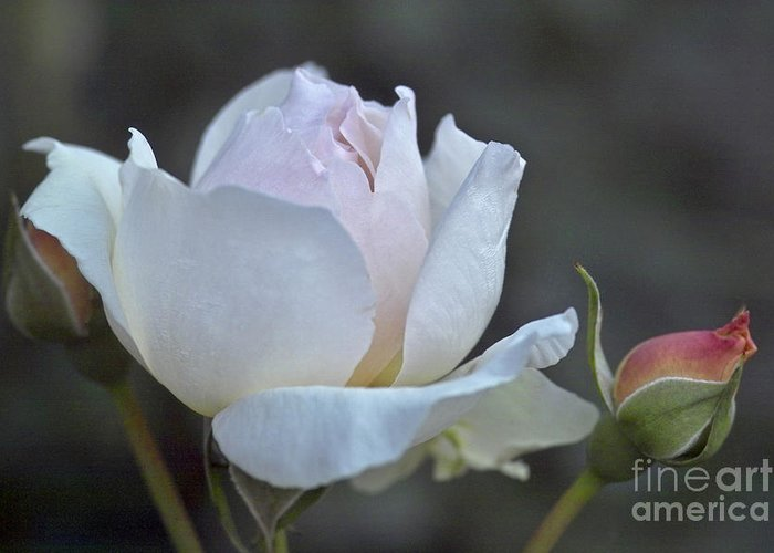 Rose Greeting Card featuring the photograph Rose Flower Series 14 by Heiko Koehrer-Wagner