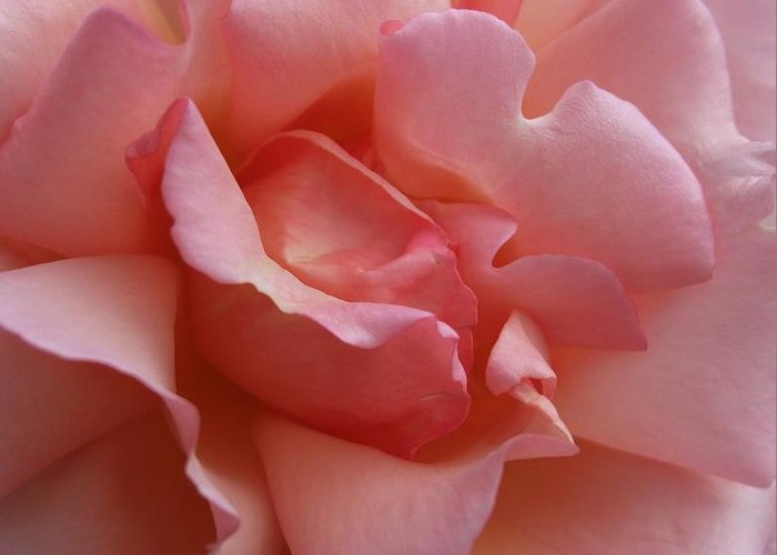Pink Greeting Card featuring the photograph Rose Of Light by Deborah Brewer