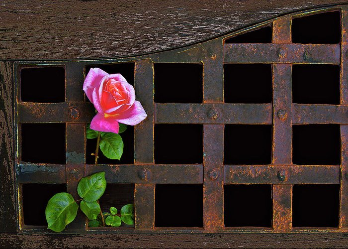 Rose Greeting Card featuring the photograph Rose On Trellis by Armando Picciotto