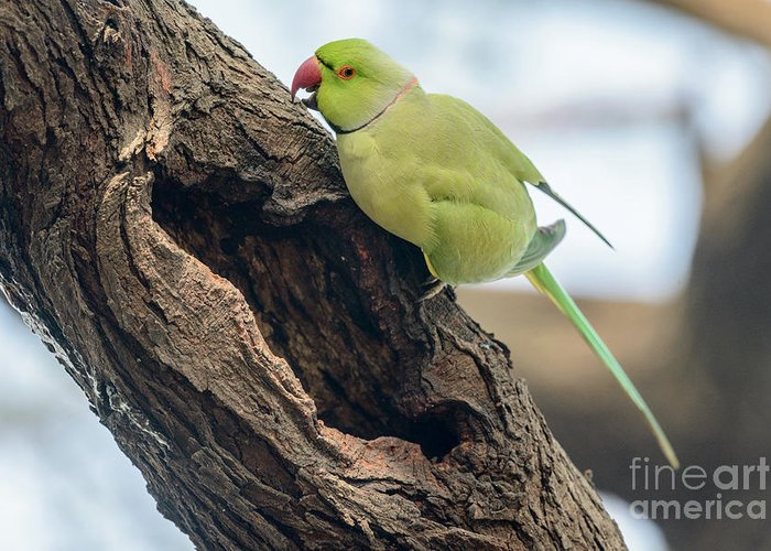Bird Greeting Card featuring the photograph Rose-ringed Parakeet 03 by Werner Padarin