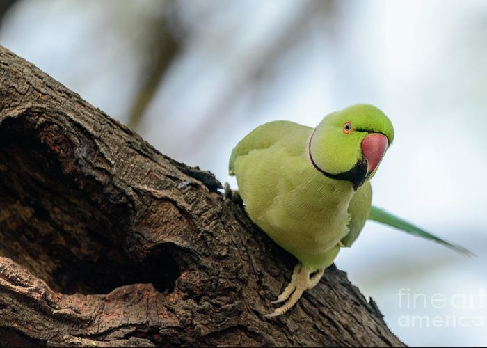 Bird Greeting Card featuring the photograph Rose-ringed Parakeet 04 by Werner Padarin