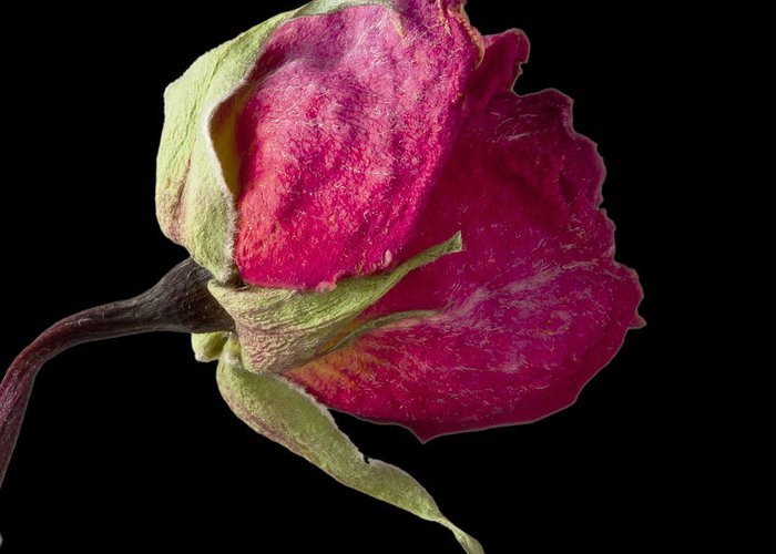 Rose Greeting Card featuring the photograph Rose Still Life by Robert Ullmann