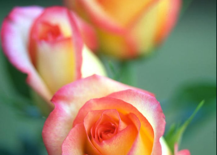 Florals Greeting Card featuring the photograph Rose Trio by Kathy Yates
