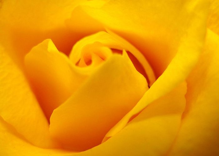 Rose Greeting Card featuring the photograph Rose Yellow by Rhonda Barrett