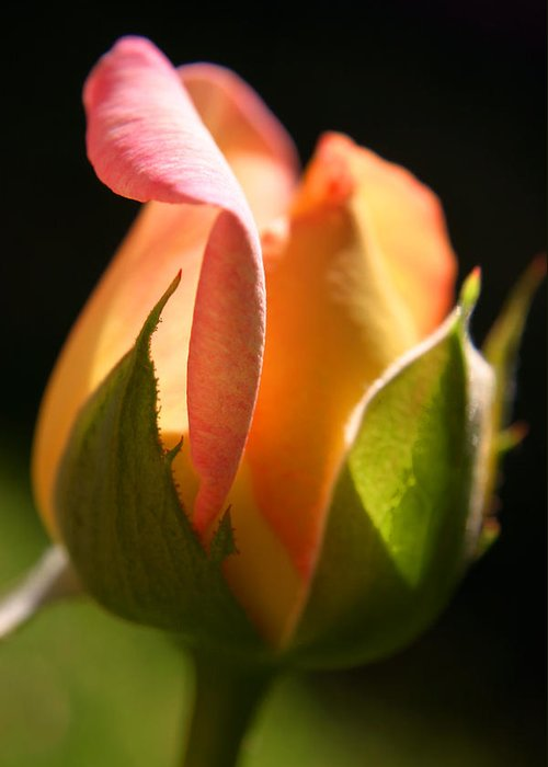 Rosebud Greeting Card featuring the photograph Rosebud by Ralph A Ledergerber-Photography