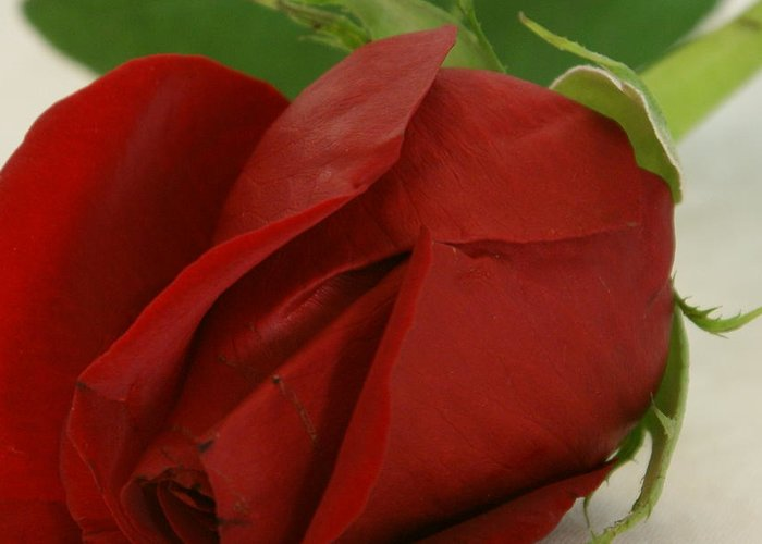 Flower Greeting Card featuring the photograph Rosebud by Ron Read