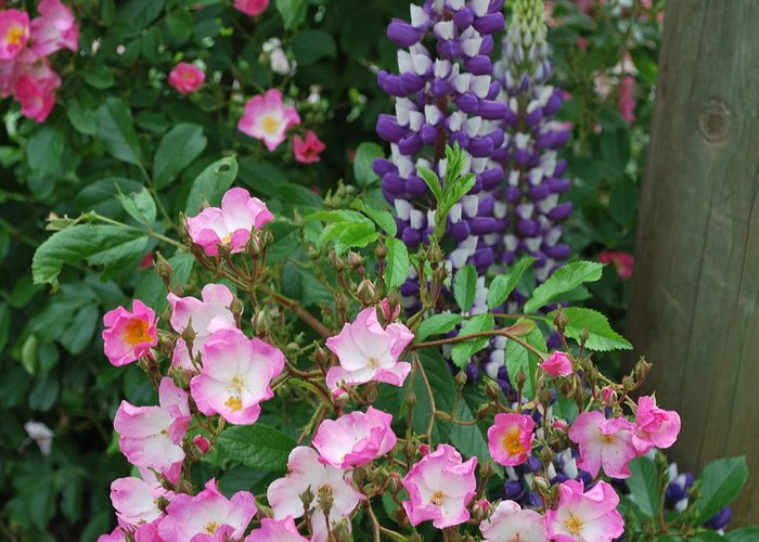 Purple Lupine Greeting Card featuring the photograph Roses And Lupines by Linda Sramek