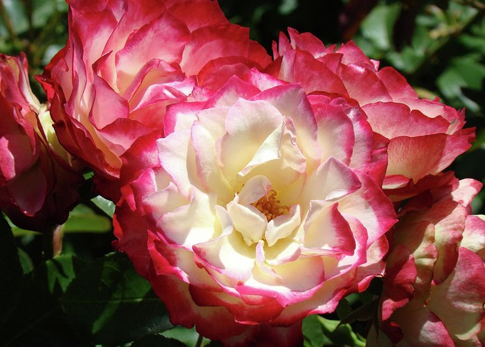 Rose Greeting Card featuring the photograph Roses Art Prints Pink White Rose Flowers Gifts Baslee Troutman by Baslee Troutman