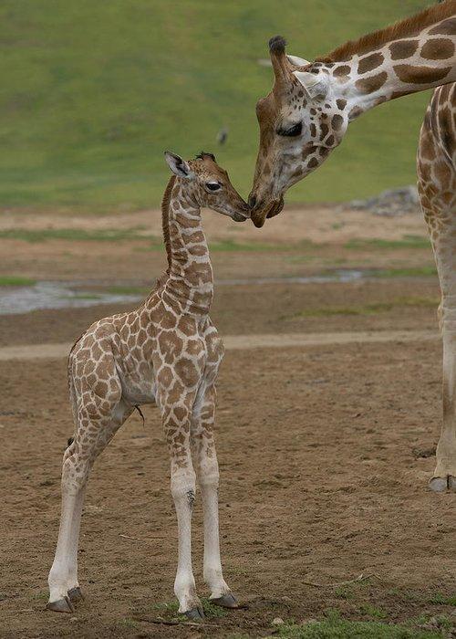 Mp Greeting Card featuring the photograph Rothschild Giraffe Giraffa by San Diego Zoo