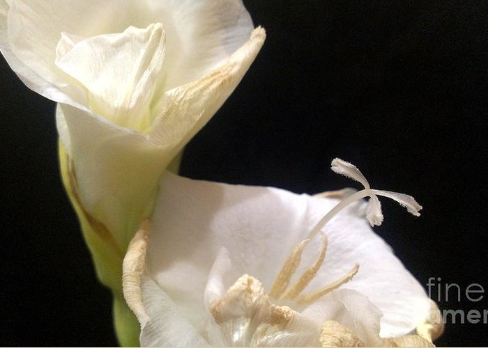 Gladiolus Greeting Card featuring the photograph Rough Around The Edges by LKB Art and Photography