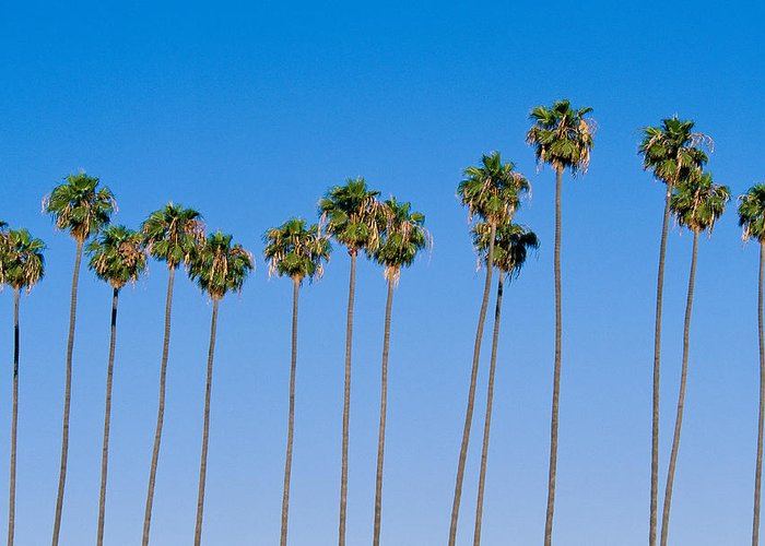 Blue Sky Greeting Card featuring the photograph Row Of Palm Trees by Rich Iwasaki