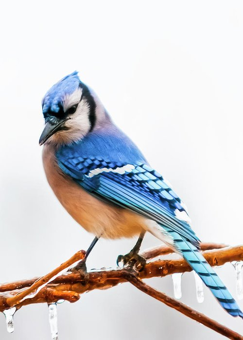 Bird Greeting Card featuring the photograph Royal Blue by Ron McGinnis