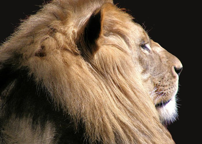 Lion Greeting Card featuring the photograph Royalty by Scott Hovind