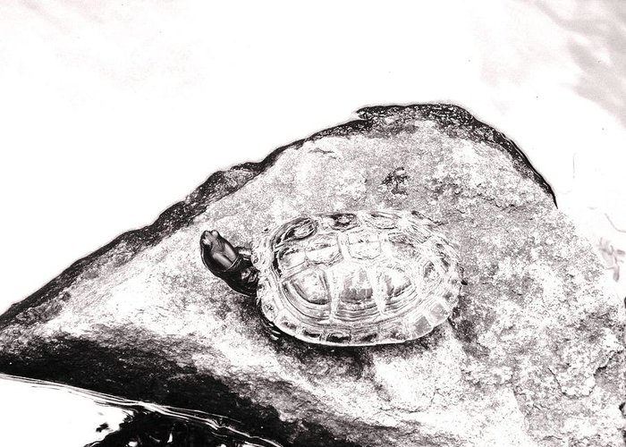 Pond Greeting Card featuring the photograph Rubbernecking Pond Turtle by Deborah Crew-Johnson
